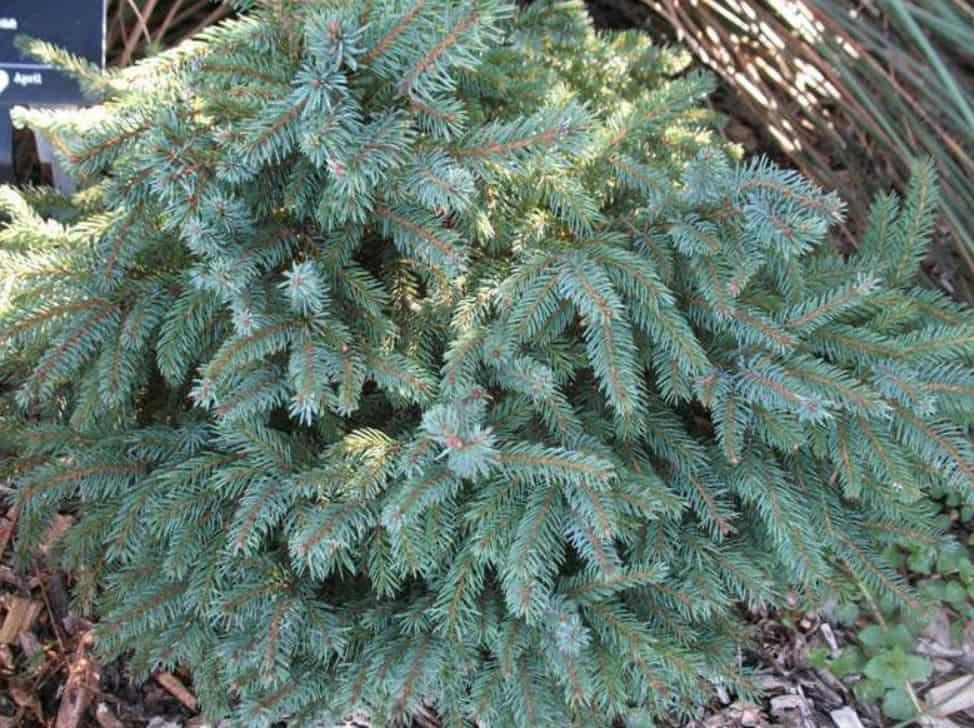 Törpe fekete luc (Picea mariana 'Nana')