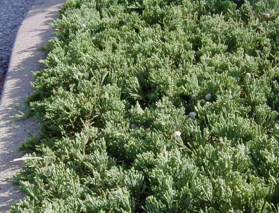 Henye boróka (Juniperus horizontalis 'Wiltonii')