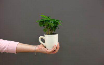Kávécserje gondozása a lakásban, kávé termesztése otthon